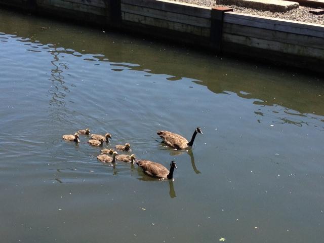ducks Manayunk canal